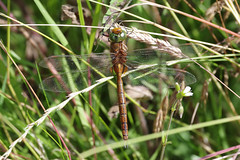 Norfolk (Green Eyed) Hawker (Hugobian) Tags: paxton pits nature reserve wildlife insect animal dragonfly dragonflies pentax k1 norfolk green eyed hawker