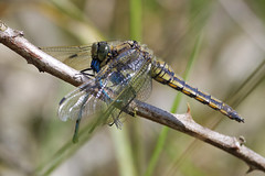 Two Damsels For Lunch! (Hugobian) Tags: dragonfly dragonflies insect nature wildlife fauna pentax k1 paxton pits reserve black tailed skimmer damselflies prey food eat