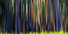 Rainbow eucalyptus, Big Island (Ben_Coffman) Tags: abstract bencoffman bencoffmanphotography bigisland camerapanning colorful eucalyptus hawaii landscape panning rainboweucalyptus sunlight