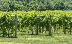 Virginia--Honah Lee Vineyard 2019 2a (White Shadow 56) Tags: green wine tasting weddings nikon d600 mountains grapes vineyard merlot family farm winding road trucks hay virginia gordonville hills cattle travel events music summer 2019 tamron af 28300mm f3563 di ii vc ld aspherical if