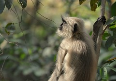 Warm Morning Light (The Spirit of the World ( On and Off)) Tags: monkey graylangur primate india rajasthan ranthamborepark gamereserve gamedrive trees leaves forest light sunlight warm asia safari portrait gaze