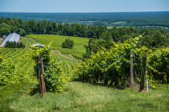 Virginia--Honah Lee Vineyard 2019 38 (White Shadow 56) Tags: green wine tasting weddings nikon d600 mountains grapes vineyard merlot family farm winding road trucks hay virginia gordonville hills cattle travel events music summer 2019 tamron af 28300mm f3563 di ii vc ld aspherical if