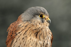 Common Kestrel ♂ Falco tinnunculus (Roger Wasley) Tags: common kestrel falcotinnunculus birds birdofprey kes male specanimal