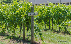 Virginia--Honah Lee Vineyard 2019 2 (White Shadow 56) Tags: green wine tasting weddings nikon d600 mountains grapes vineyard merlot family farm winding road trucks hay virginia gordonville hills cattle travel events music summer 2019 tamron af 28300mm f3563 di ii vc ld aspherical if