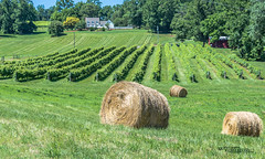 Virginia--Honah Lee Vineyard 2019 132 (White Shadow 56) Tags: green wine tasting weddings nikon d600 mountains grapes vineyard merlot family farm winding road trucks hay virginia gordonville hills cattle travel events music summer 2019 tamron af 28300mm f3563 di ii vc ld aspherical if