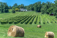 Virginia--Honah Lee Vineyard 2019 134 (White Shadow 56) Tags: green wine tasting weddings nikon d600 mountains grapes vineyard merlot family farm winding road trucks hay virginia gordonville hills cattle travel events music summer 2019 tamron af 28300mm f3563 di ii vc ld aspherical if