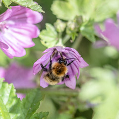 179/365 Busy Bee (belincs) Tags: oneaday june bee flower lincolnshire 365 macro 2019 uk outdoors 365the2019edition 3652019 day179365 28jun19