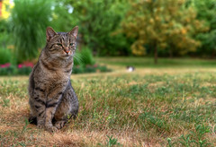 Green-eyed tabby cat on the withered grass (tom.sk) Tags: kitty outdoor tabby feline animal nature portrait cute pet garden domestic sweet adorable outside cat beautiful withered green grass eyes kitten rural scenic atmospheric greeneyed