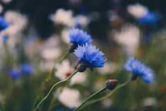 A touch of blue.. (erlingraahede) Tags: blue cornflower denmark canon vsco mood