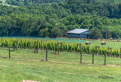 Virginia--Honah Lee Vineyard 2019 128 (White Shadow 56) Tags: green wine tasting weddings nikon d600 mountains grapes vineyard merlot family farm winding road trucks hay virginia gordonville hills cattle travel events music summer 2019 tamron af 28300mm f3563 di ii vc ld aspherical if