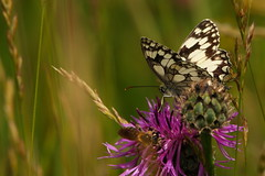 Marbled White butterfly at Farley Mount Country Park, Winchester (Art-G) Tags: insect butterfly marbledwhitebutterfly farleymount countrypark winchester hapmshire uk canon eos7dmkii sigma150600c bokeh pseudomacro