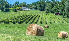 Virginia--Honah Lee Vineyard 2019 131 (White Shadow 56) Tags: green wine tasting weddings nikon d600 mountains grapes vineyard merlot family farm winding road trucks hay virginia gordonville hills cattle travel events music summer 2019 tamron af 28300mm f3563 di ii vc ld aspherical if
