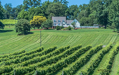 Virginia--Honah Lee Vineyard 2019 133 (White Shadow 56) Tags: green wine tasting weddings nikon d600 mountains grapes vineyard merlot family farm winding road trucks hay virginia gordonville hills cattle travel events music summer 2019 tamron af 28300mm f3563 di ii vc ld aspherical if