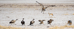 Not even scared (Valérie C) Tags: bird wild animal nature namibia etosha vulture fight jackal