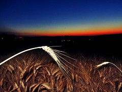 ear of corn (simona300) Tags: sunset earofcorn ear corn spigadigrano fermo night sunsetporn sunsetphotography sunsetcolors sunsetlovers landescape photografy