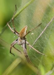 Nursery Web Spider (baldychops) Tags: spider nursery nurserywebspider web spidersweb legs predator nature natural naturalworld outdoor summer uk uknature plant oxford oxfordshire