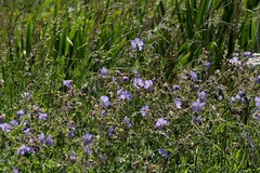 Img_5997 (steven.heywood) Tags: meadowcranesbill cranesbill geranium