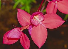 _D716417 (johann.spies) Tags: disa flower blom rooi nature natuur