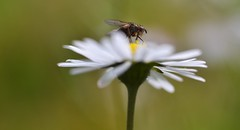 Have a great FlyDay evening! (conall..) Tags: nikon afs nikkor f18g lens 50mm prime primelens nikonafsnikkorf18g closeup raynox dcr250 macro county down tullynacree nw551041 annacloy field northernireland fly siphona tachinidae bellis perennis bellisperennis common daisy asteraceae flower flowerhead composite