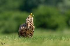 Zew natury - Bielik, White-tailed Eagle (Haliaeetus albicilla) ... 2019r (Rafal Szozda) Tags: birds nature animals wildlife colors meadow spring nikon nikkor lens lubuskie poland eagle