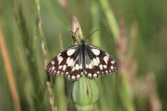 Marbled White Catchng Some Rays! (RiverCrouchWalker) Tags: marbledwhite melanargiagalathea butterfly southwoodhamferrers essex fenncreek june 2019 summer grasses insect invertebrate