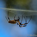 Banana Spider at Creekfield Lake