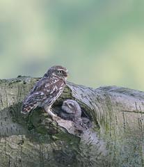 Little Owl and Owlets (Nigey2) Tags: owl owls raptor raptors bird birds birdofprey owlet