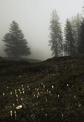 Spring fighting its way (timopfahl) Tags: switzerland schweiz kandersteg fog nebel knospe spring frühling dunkel dark ¨