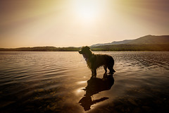 28th June 2019 (Rob Sutherland) Tags: collie dog border lakes lake lakedistrict lakeland coniston water sun sunshine summer hot heat cool cooling england english uk britain british golden