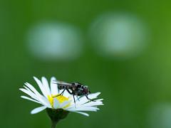 she likes daisies (de_frakke) Tags: madeliefjes daisies vliegje bloem natuur