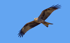 a black kite (Fat Burns ☮) Tags: blackkite milvusmigrans kite raptor bird australianbird fauna australianfauna hawk nikond500 oxleycreekcommon brisbane queensland nikonafs200500mmf56eedvr australia wildlife australianwildlife nikon