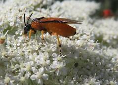 Gelbe Rosen-Bürstenhornblattwespe (Arge ochropus) (1) (naturgucker.de) Tags: ngidn255104982 argeochropus gelberosenbürstenhornblattwespe