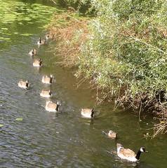 Canada Geese & Gosling on River Trent (Diego Sideburns) Tags: burtonupontrent burtonontrent rivertrent canadagoose gosling