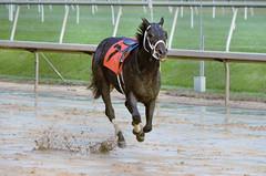 2018-10-27 (45) r8 #7 Invigorous ducked out sharply at the break and Christopher DeCarlo was unseated - loose horse (JLeeFleenor) Tags: photos photography md marylandracing maryland marylandhorseracing equine outside outdoors horses thoroughbreds equestrian cheval cavalo cavallo cavall caballo pferd paard perd hevonen hest hestur cal kon konj beygir capall ceffyl cuddy yarraman faras alogo soos kuda uma pfeerd koin حصان кон 马 häst άλογο סוס घोड़ा 馬 koń лошадь
