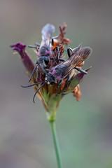 Sphex funerarius (maldiesmaldas.de) Tags: sphex funerarius heuschreckensandwespe stacking bracketing wespe natur naturerocks naturelovers makro macro olympus zuiko 60mm karlstadt main sand wasp