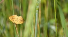 Butterfly (joeke pieters) Tags: 1480468 panasonicdmcfz150 vlinder butterfly insect gestreeptegoudspanner camptogrammabilineata nachtvlinder yellowshell