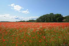 Red Flower Field (Bo Ragnarsson) Tags: field flowers flower flowerfield blommor åker red landscape farm farming summer sommar trees sky clouds