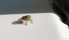 HFIMG_4234b-1 (Wildlife Paparazzi) Tags: horsefly indiancreekwildlifearea