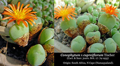 Conophytum x cupreiflorum (collage)