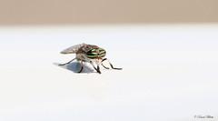 HFIMG_3912b-1 (Wildlife Paparazzi) Tags: horsefly indiancreekwildlifearea