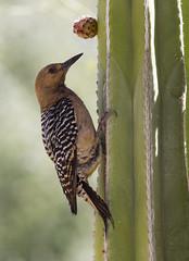 Gila Woodpecker (AllHarts) Tags: gilawoodpecker desertbotanicalgarden phoenixaz