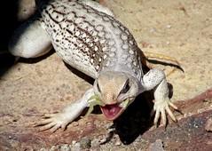 Hungry lizard (thomasgorman1) Tags: lizard reprile wild wildlife eating lettuce iguana desert ground baja canon mexico animal hungry