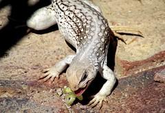 Wild but tame (thomasgorman1) Tags: iguana desert eating tame wild wildlife reptile baja mexico animal scales canon creature