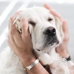 It's the hard-knock life #goldenretrievers ⚡️ #althea (Alex Beattie) Tags: althea golden dog california westlake artisanbrandingcom