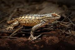 Clark's Spiny Lizard (Eric Gofreed) Tags: clarksspinylizards lizard sceloporusclarkii