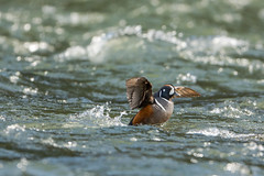 Splash down (ChicagoBob46) Tags: harlequin harlequinduck duck yellowstonenationalpark yellowstone nature wildlife ngc coth5 naturethroughthelens npc