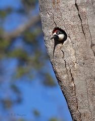 Acorn Woodpecker peering from nest hole (Robyn Waayers) Tags: acornwoodpecker melanerpesformicivorus woodpecker woodpeckers cuyamacamountains robynwaayers