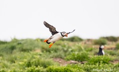 A balletic move (Photosuze) Tags: puffins atlanticpuffins flying flight birds avians aves nature wildlife animals