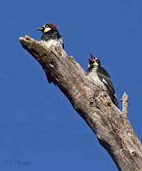 Acorn Woodpecker adult and juvenile (Robyn Waayers) Tags: acornwoodpecker melanerpesformicivorus woodpecker woodpeckers cuyamacamountains robynwaayers