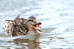 Happy weekend 😊 (Melinda G Pix) Tags: bird nature outdoor quack happy hen mallard waterfowl duck